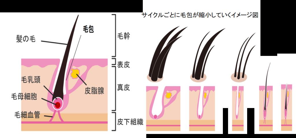 AGA抜け毛とヘアサイクル3
