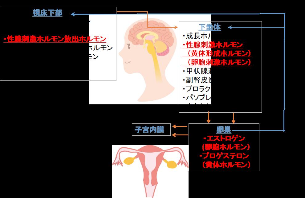 女性ホルモンと薄毛2