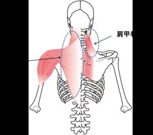 薄毛の原因肩こりの筋肉